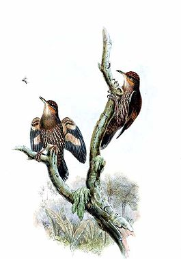 Cormobates placens by John Gould.jpg