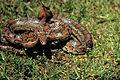 Corn Snake, NPSPhoto (9255026919).jpg
