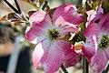 Cornus florida var. rubra Cherokee Brave 6zz.jpg