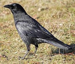 Corvus caurinus 02