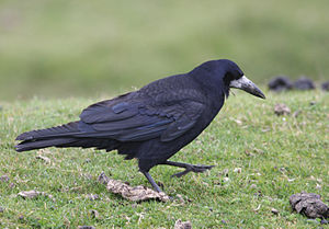 Rook (bird) - On Dartmoor, Devon, England