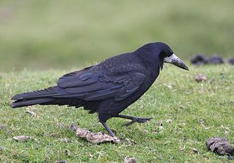 Rook (bird) - On Dartmoor, Devon, England