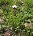 Corymbium cymosum Rebelo 1.jpg