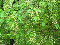 Costigiola-ciliegio canino-1.jpg