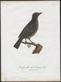 Cotinga caerulea - 1801 - Print - Iconographia Zoologica - Special Collections University of Amsterdam - UBA01 IZ16600067.tif