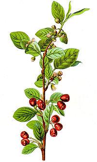 Cotoneaster integerrimus Sturm1.jpg