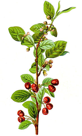Description de l'image Cotoneaster integerrimus Sturm1.jpg.