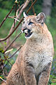 Cougar Standing Looking to the Side (17235508564).jpg