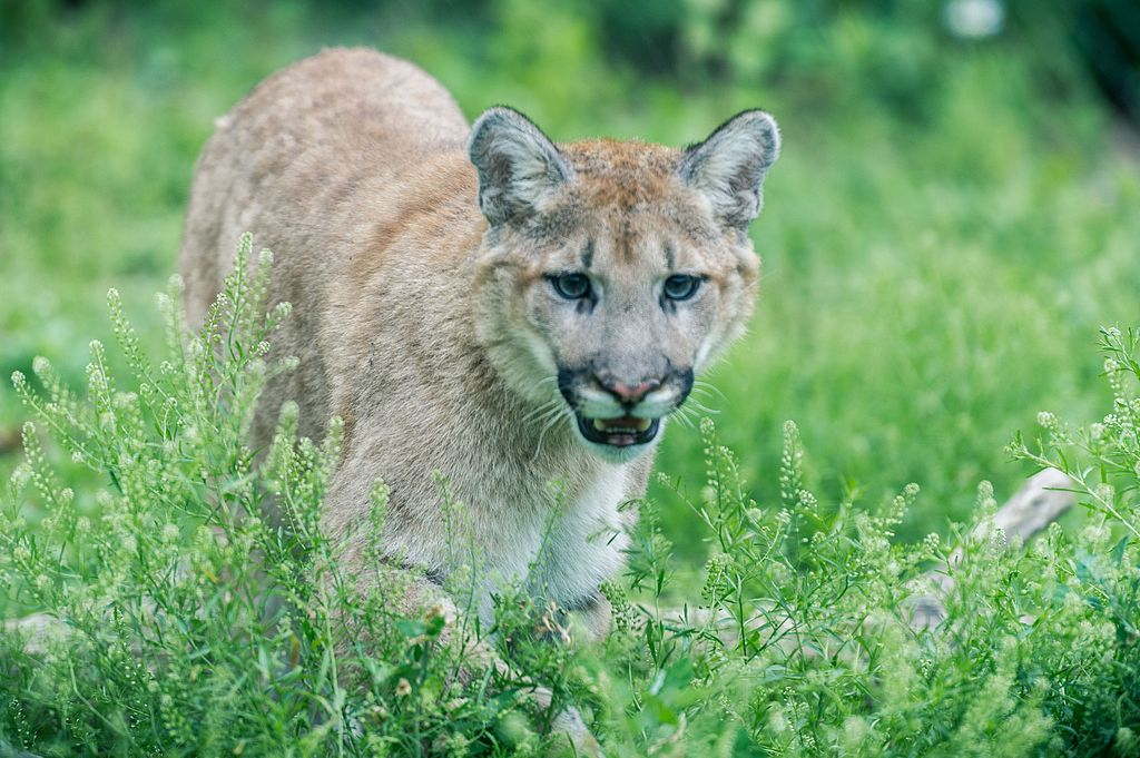 Cougar Walking in Tall Grass (19243047895).jpg