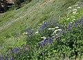 Cow parsnip lupine hillside stream.jpg
