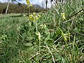 Cowslip - Primula veris - Fore Down - geograph.org.uk - 1163820.jpg