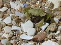 Crab Cangrexo 68eue.jpg