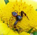 Crab Spider (Synema globosum) - Flickr - gailhampshire.jpg