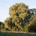 Crack willow Lodz(Poland)(js).04.jpg