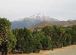 Orange trees at the intersection of Crafton and Citrus Avenues. San Gorgonio Mountain in the distance