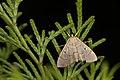 Crambidae (34013027645).jpg