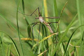 Tipula oleracea - Image: Crane fly (Tipula oleracea) Oxfordshire