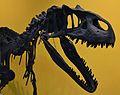 Crani d'Al·losaure (Allosaurus fragilis), Museu de Ciències Naturals de València.JPG