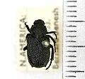 Cremastocheilus canaliculatus (Kirby, 1827) - 5392543811.jpg