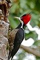Crimson-crested Woodpecker (Campephilus melanoleucus) female (28992732945).jpg