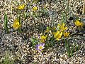 Crocus Dorothy or Gipsey Girl ^ C.sieberi sublimis Tricolor - Flickr - peganum.jpg