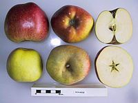 Cross section of Bovarde, National Fruit Collection (acc. 1947-082).jpg