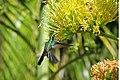 Cuban Emerald (Chlorostilbon ricordii) (8591589111).jpg