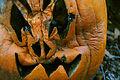 Cucurbita pepo Halloween carved pumpkin a few days after, decay.jpg