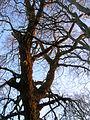 Cunninghamhead poplar branches.JPG