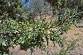 Cupressus nevadensis Hobo Ridge Grove (11) - Flickr - theforestprimeval.jpg