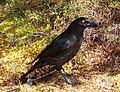 Currawong At Windermere.jpg