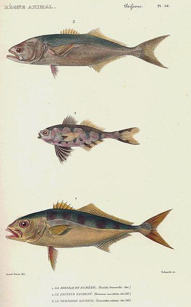 File:Cuvier-56-Temnodon-Pasteur-Sériole.jpg