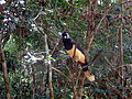 Cyanocorax chrysops o Urraca Parque Nacional Iguazú Argentina.JPG