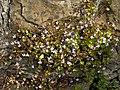Cymbalaria muralis (plant).jpg