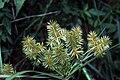 Cyperus strigosus NRCS-1.jpg