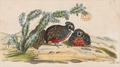 Cyrtonyx ocellatus - 1820-1863 - Print - Iconographia Zoologica - Special Collections University of Amsterdam - UBA01 IZ17100215 detail.png