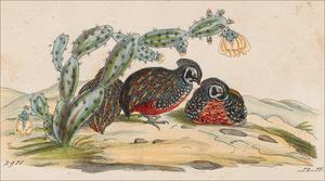 Ocellated quail - Image: Cyrtonyx ocellatus 1820 1863 Print Iconographia Zoologica Special Collections University of Amsterdam UBA01 IZ17100215 detail