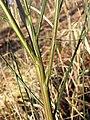 Cytisus scoparius (subsp. scoparius) sl3.jpg