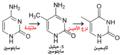 Cytosine becomes thymine ar.png