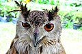 D85 1792Siberian Eagle Owl Photographed by Trisorn Triboon.jpg