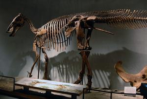 Denver Museum of Nature and Science - Skeleton of Edmontosaurus