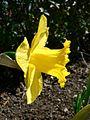 Daffodil plant.jpg