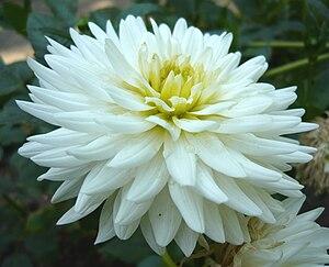 Español: Dahlia 'My Love'. Real Jardín Botánic...