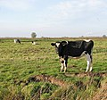 Dairy cows and heifers in Thurlton Marshes - geograph.org.uk - 1578604.jpg
