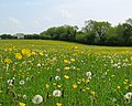 Dandelion Clocks and Buttercups - geograph.org.uk - 800423.jpg