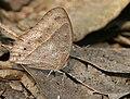 Dark-brand Bushbrown (Mycalesis mineus)- dry season form at Narendrapur W IMG 4180.jpg