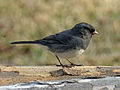 Dark-eyed Slate-colored Junco RWD5.jpg