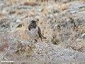 Dark-throated Thrush (Turdus ruficollis) (49138280016).jpg