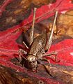 Dark Bush Cricket. ^ Pholidoptera griseoaptera. - Flickr - gailhampshire.jpg