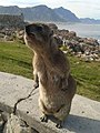 Dassie South Africa Western Cape.jpg